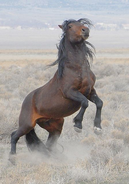"A Wild Mustang ~ ""If God made anything more beautiful than a Horse ~ he kept it for himself."""