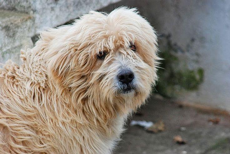 """Raças de cães portugueses  Barbado da Terceira é uma raça canina tida como um cão de gado por excelência, muito ágil e dinâmico, conduzindo e juntando o gado com grande facilidade, sendo também utilizado no maneio de gado bravo.  De acordo com o Clube Português de Canicultura (CPC). """"é utilizado ainda como cão de guarda, função que desempenha com eficácia"""", ao mesmo tempo que é """"um bom cão de companhia"""" face ao seu """"carácter afável e ensino fácil""""."""