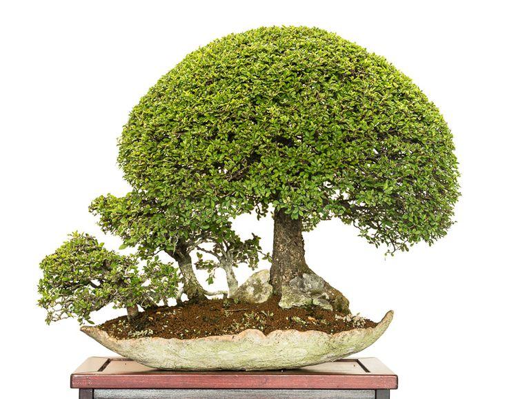 Ulmus parvifolia bonsai forest