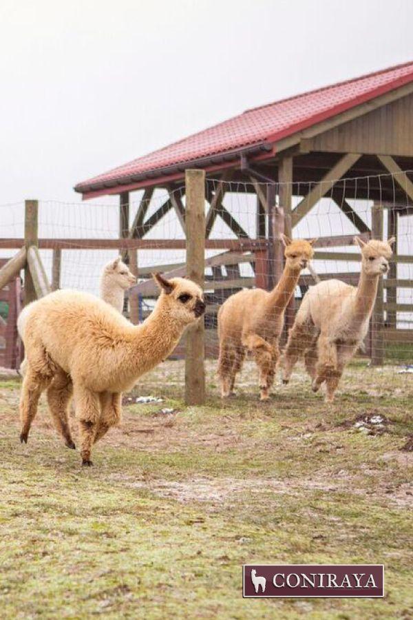 Come on! Breakkfast! :D #alpacas #alpakino #coniraya #alpaca #breakfast