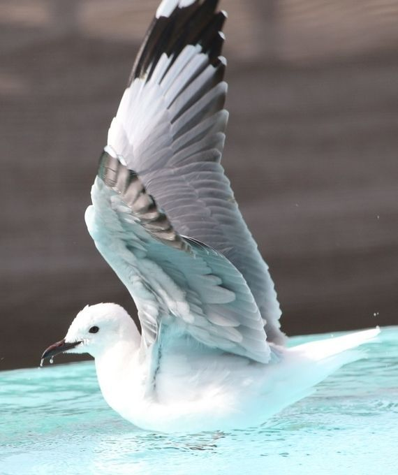"Photo ""Seagullonpool,ShimmysBeachClub,CapeTown"" by maryannwest"
