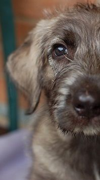 Irish Wolfhound pup-maybe some day I will take in an IW pup. Have loved having Oskar in the family.