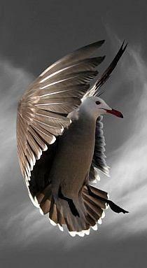 .Sea Gull in flight