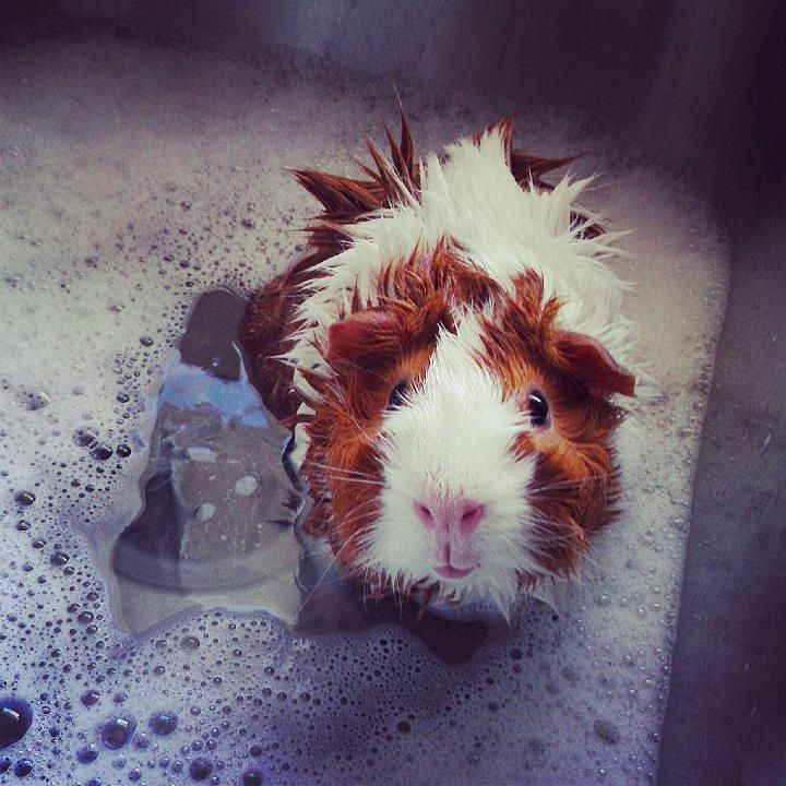 How to clean a Guinea Pig :) Aww I used to bathe my Guinea pig! He looked just like this little guy!