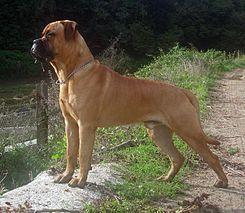 El bullmastiff es una raza británica de perro que, según se cree, procede del cruce entre el mastín inglés y bulldogs.