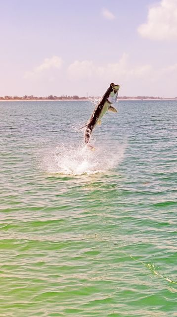 17 best images about little gasparilla wildlife on for Fly fishing florida
