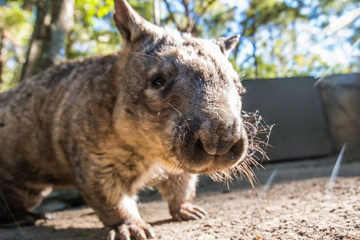 Southern Hairy-Nosed Wombat © Currumbin Wildlife Sanctuary