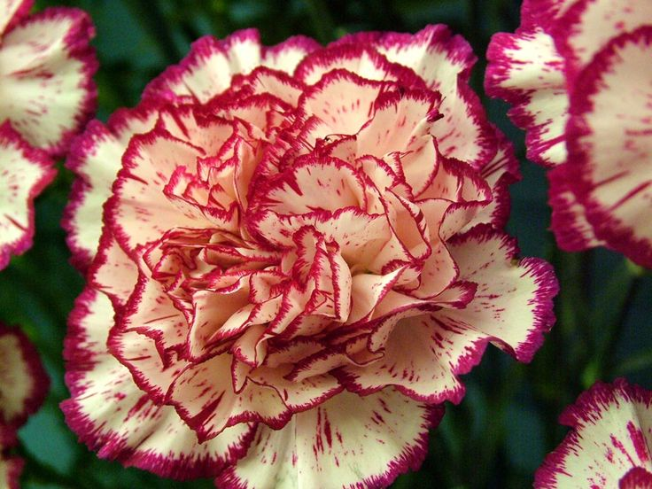 95 best images about carnations on pinterest flower for Flowers that represent love