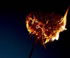 burning dandelions