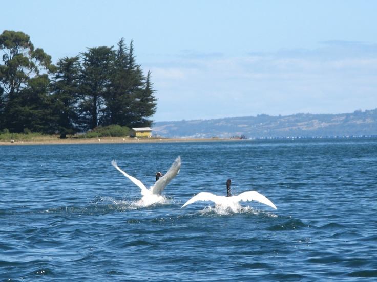 Cisnes en San Juan - Chiloe