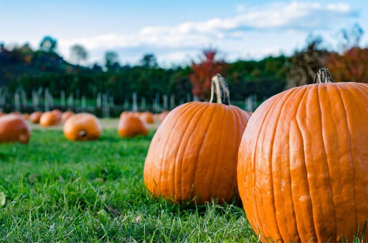 Pumpkin picking on Halloween (Highland NY)