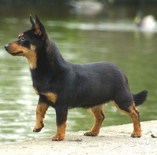 Breed Love   Doggerel - Rare Dog Breed #8 of #12 : Lancashire Heeler