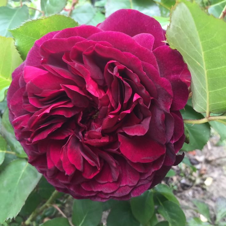 My own David Austin rosé, Munstead Wood