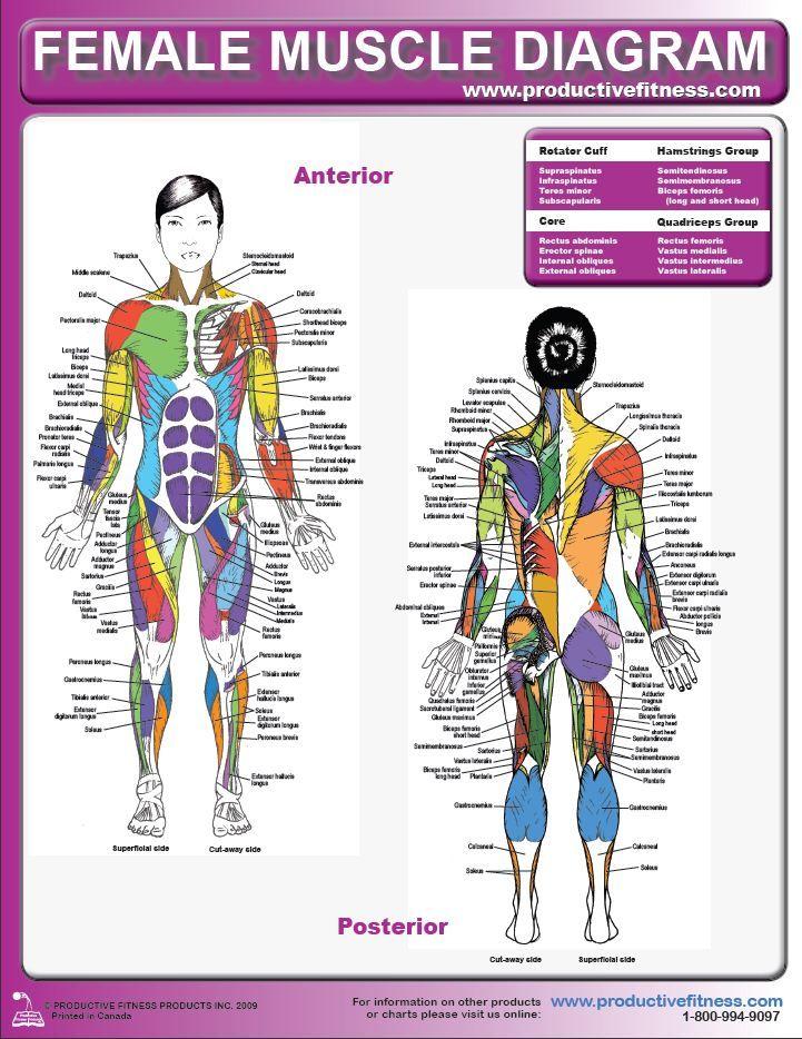 Female Muscle Diagram