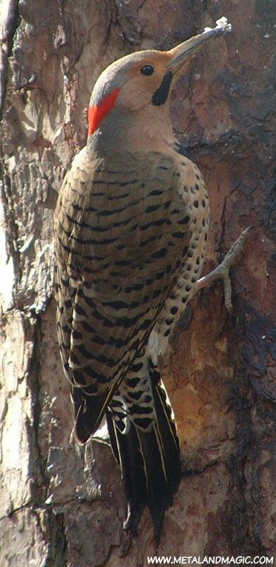 Northern Flicker woodpeckers are one of the most beautiful and widespread woodpeckers in North America. - photographer Ursula Vernon