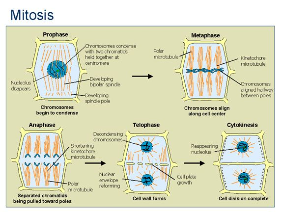 mitosis on plant cells Plant cells build a new wall by joining a series of vesicles through the center of the wall until the cell is completely divided other differences other minor differences occur during the five stages of mitosis.