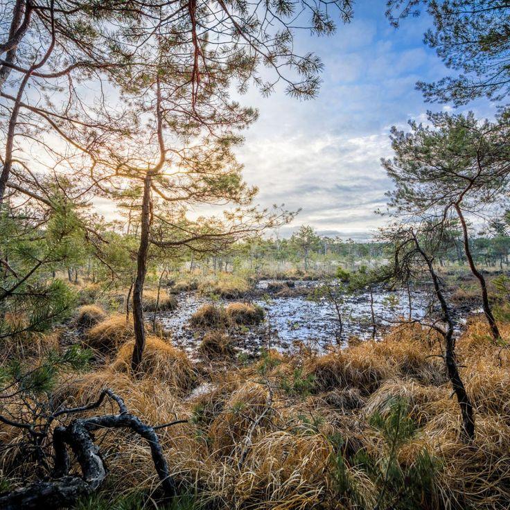 Bild 28 - Zadlitzbruch in der Dübener Heide bei Torgau | © Michael Eichhorn #zadlitzbruch #dübener_heide #naturschutzgebiet #sachsen #saxony #ausflugsziel #torf #moor #hochmoor #wandern #dübenerheide #duebenerheide #torgau #baddueben #baddüben #wald #sumpf #sumpfgebiet #natur #naturschutz #reservat #biosphäre #biosphere #farn #naturpark #falkenberg #trossin #dresden #nordsachsen #leipzig #sehenswürdigkeit #ziel #sonnentau #sumpfdotterblume #kranich