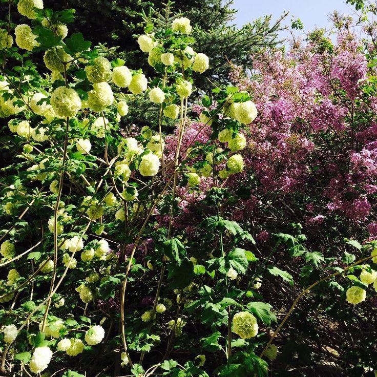 #çiçekler #flowers #leylak #lilac #nature #doğa #ğhotography #fotoğraf #greens