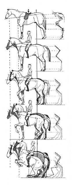 The concept of collection and elevation in front The lines behind the horse show the progressive flexion and engaging of the hindquarters. Wilhelm Museler from Reit Lehre 1928.