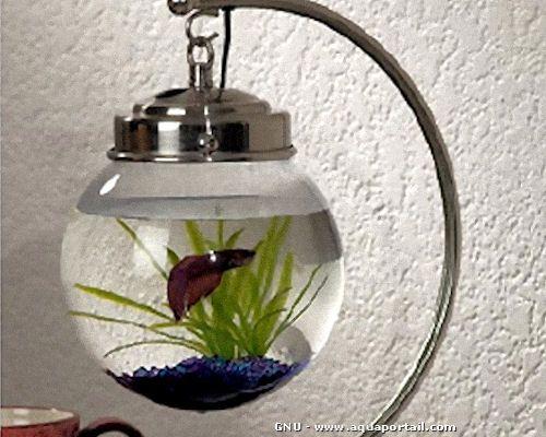 poisson combattant en aquarium boule