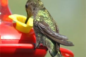 How to Make a Humming Bird Feeder to Mount on a Window: Hummingbirds are one of the smallest and fastest birds in the bird kingdom. There are 27 species in the U.S. Birdwatchers can attract hummingbirds to their yards with a hummingbird feeder, a project which can be shared by the whole family. By attaching a simple suction cup to the feeder, it easily hangs on a window.
