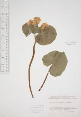 Caltha palustris (Yellow marsh marigold)
