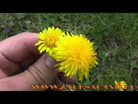 Liečivé rastliny z našej prírody - 4.Časť Púpava lekárska - YouTube