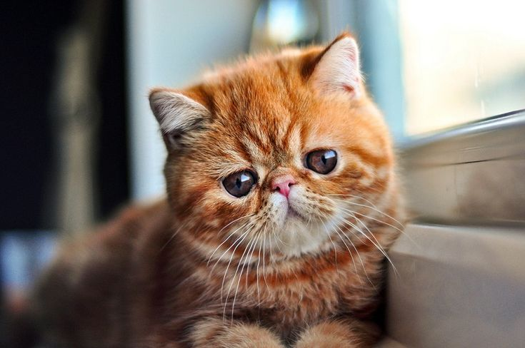 Экзотическая короткошерстная кошка рыжего окраса.