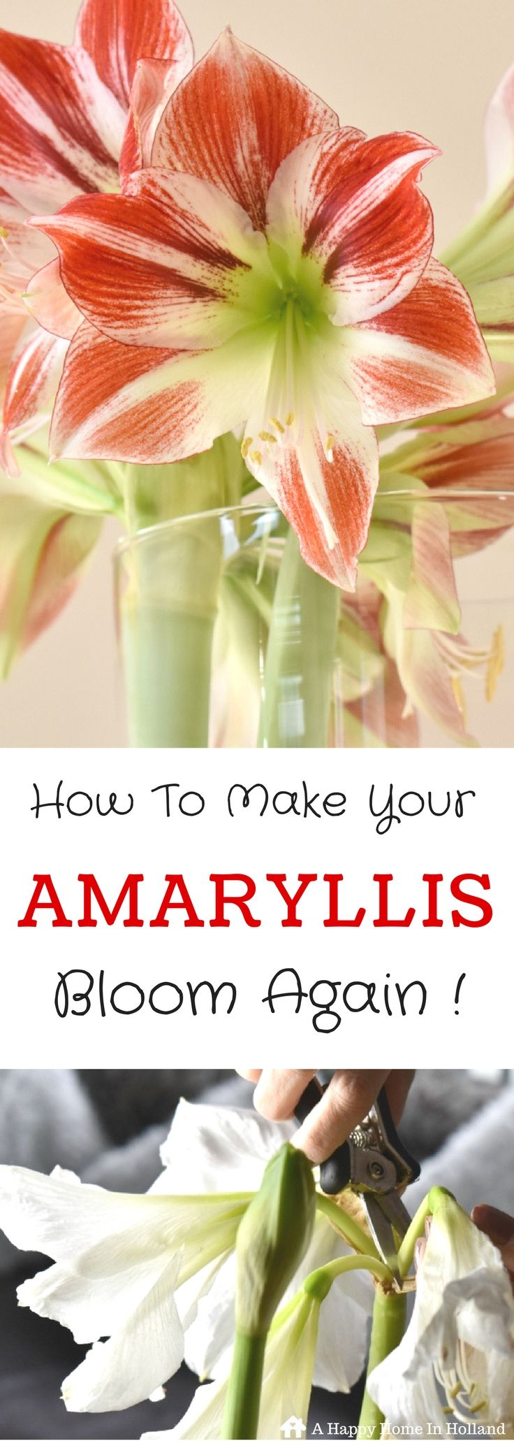 Amaryllis plant care instructions - How To Get An Amaryllis To Flower Again