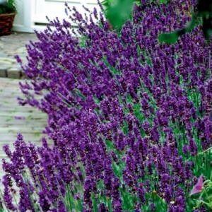 Lavendel 'Hidcote' (Lavandula angustifolia 'Hidcote') | MijnTuin.org
