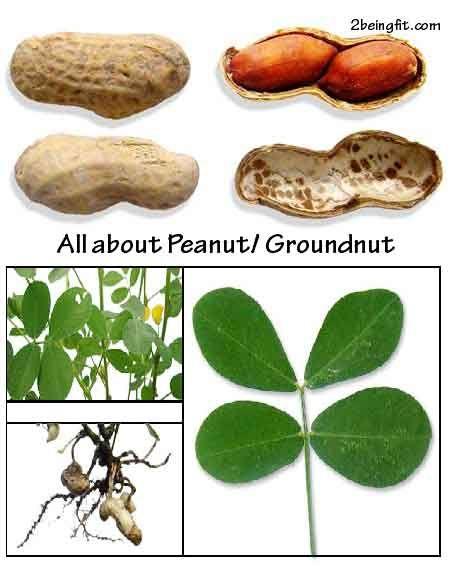 Peanut – nutrition, proven health benefits, uses