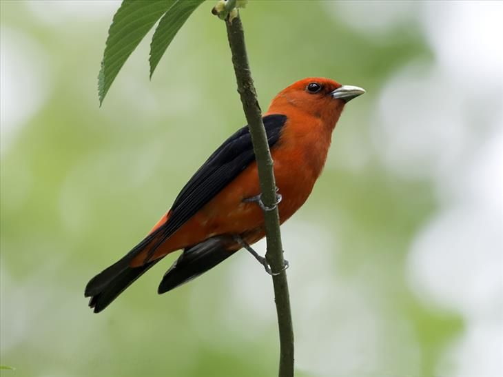 The Scarlet Tanager is a medium-sized American songbird. While the males are bright red with black wings and tails, females are yellowish underneath and olive on top. They also have brown wings and tails.