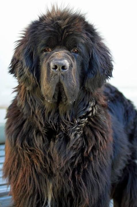 Cool Newfoundland Chubby Adorable Dog - 0a28ea055b4149a2774933e503176b90--newfoundland-dogs-long-faces  2018_764431  .jpg