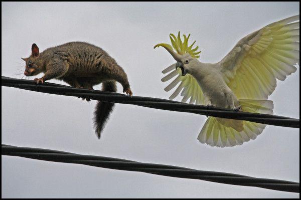 """Get Outta Here!!"" Aussie Cocky tells pesky possum where to go! #Australia #Wildlife"