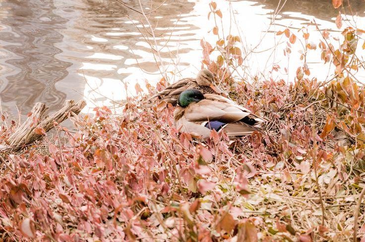 Peaceful ducks