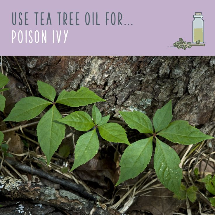 Tea Tree Oil For Poison Ivy  Splash several drops directly on the infected area, and spread it out with a cotton ball. Don't touch a poison ivy rash — it could spread! Tea tree oil will quickly dry out the blisters and scabs, and promote healing. After your rash has stopped oozing, you can add tea tree oil to a dollop of coconut oil to make a natural healing salve.