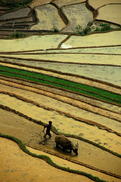 culturalcrosspollination:  Vietnamese Rice Terraces