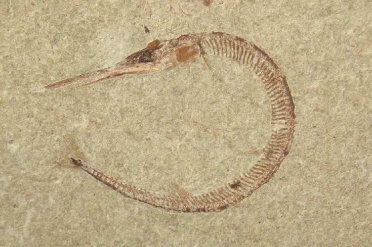 Needle Fish Fossil