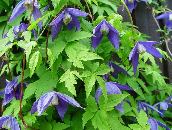 Den typiska alpklematisen med blå kronblad och vit mitt.