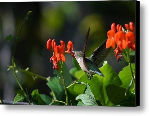 Hummingbird Canvas Print / Canvas Art By Josh Schwindt