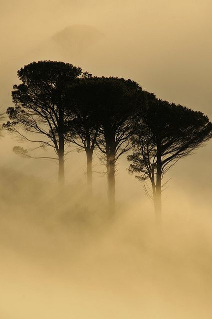 Misty trees on Table Mountain-  Cape Town, South Africa