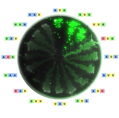 Image of an agar plate streaked with 16 different strains of Escherichia coli, each containing a green fluorescent protein with a different start codon (annotated along the edge of the plate). The 16 codons correspond to the 16 strongest expressing codons. Image is a composite of two super-imposed images from a laser scanner.
