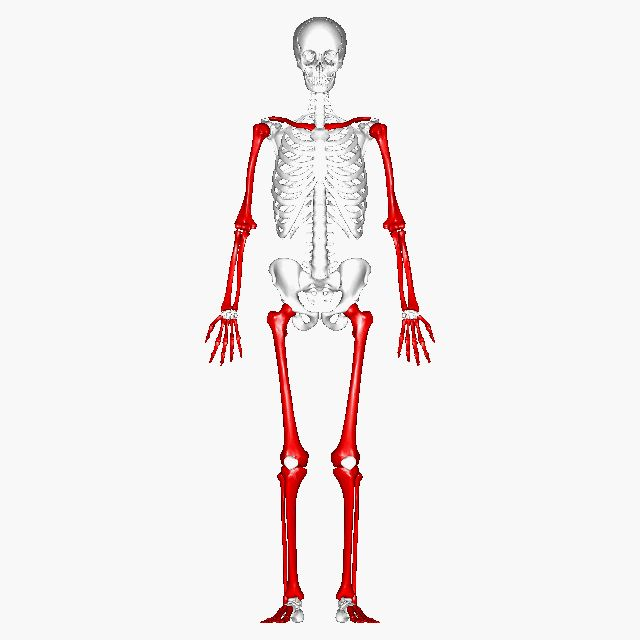 93 best bones in the body images on pinterest, Skeleton