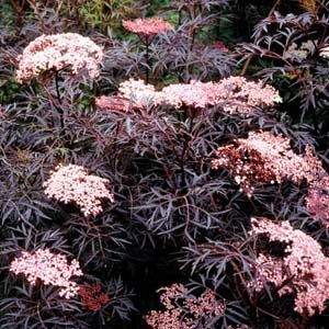SAMBUCUS BLACK LACE  Black Lace ™ This compact plant has dark purple-black, finely-cut foliage that contrasts with the pink flowers that shroud this landscape beauty in midsummer. It has dark purple-black berries in late summer that attracts birds.