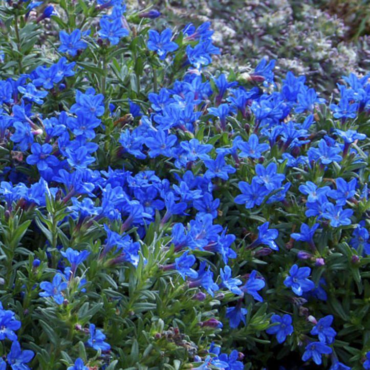 Sinilemmiö - Viherpeukalot Kuivien paikkojen sävähdyttävä maanpeitekasvi. Kirkkaansiniset kukat muistuttavat katkeron kukkia. Kukkii lähes koko kesän. Varpumainen kasvutapa. Kukinta: kesä-elokuu Kasvukorkeus: 5-10 cm Kasvupaikka: aurinkoinen Talvenkesto: melko kestävä