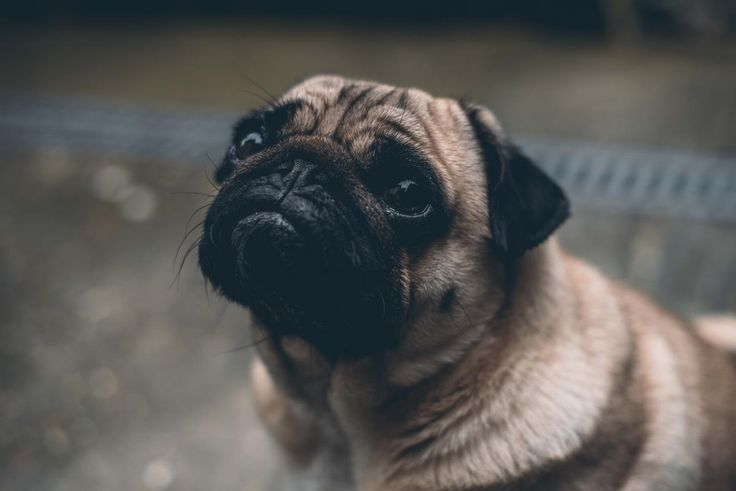 Sad looking Pug. Photo by Marcus Cramer.