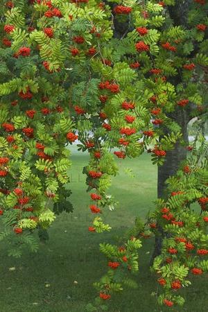 Rowan - Pihlaja, Sorbus aucuparia, Käyttö: Pihlajanmarjaa voi käyttää hillojen, hyytelöiden ja jälkiruokien valmistuksessa. Marjan voimakas maku pehmenee, jos sitä yhdistetään hilloissa makeampiin marjoihin tai hedelmiin. Marjoja voi säilöä pakastamalla, kuivaamalla ja mehuna tai hilloksi keittämällä.