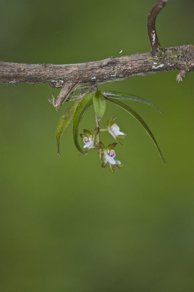 Sarcochilus Australis Orquídeas Orquidea Mini Orquideas