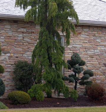 206 best images about evergreens for small yards on for Tall evergreen trees for small gardens