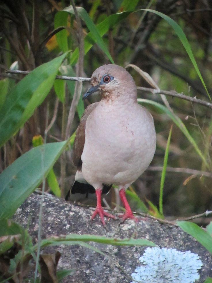 Leptotila verreauxi / Tórtola colipinta / White-tipped Dove | by felixú